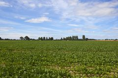 Sugar beet crop and poplar trees Stock Photos