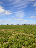 Sugar beet crop in summer. A sugar beet crop on dry soil under a summer blue sky with wispy white cloud in yorkshire Royalty Free Stock Photo