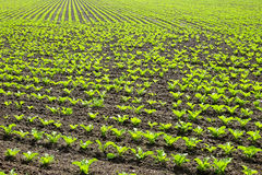 Sugar beet cultivation in spring Stock Photo