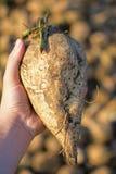 Sugar Beet in der Hand mit Stapel im Hintergrund Frisch ausgewählte Zuckerrübe Stockbild