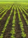 Sugar beet field. Regular lines pattern on sugar beet field Royalty Free Stock Photo