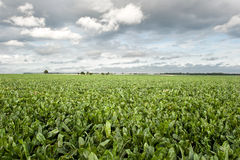 Sugar beet field Stock Images