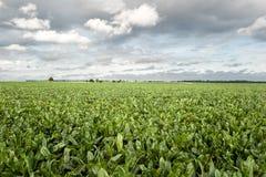 Sugar beet field. View on sugar beet field Stock Images
