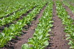 Sugar beet field. Regular lines pattern on sugar beet field Stock Photos