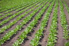 Sugar beet field. Regular lines pattern on sugar beet field Stock Image