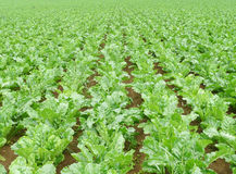 Sugar beet field. Stretching to horizontal stock image