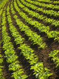 Sugar beet field. Field with young suger beet plants Royalty Free Stock Photos