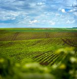 Sugar beet field, agricultural hills landscape. Sugar beet crops field, agricultural hills landscape Royalty Free Stock Image