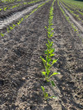 Sugar beet field (Beta vulgaris subsp. vulgaris). Colorful and crisp image of sugar beet field (Beta vulgaris subsp. vulgaris Stock Photos