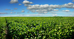 Sugar beet field with blue sky panoramic view. Sugar beet bright green leaves in field with cloudy blue sky Royalty Free Stock Photo