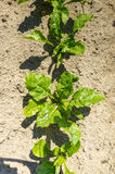 Sugar beet field close view. Close view on the green young sugar beet field Royalty Free Stock Image