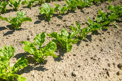 Sugar beet field close view. Close view on the green young sugar beet field Royalty Free Stock Photography