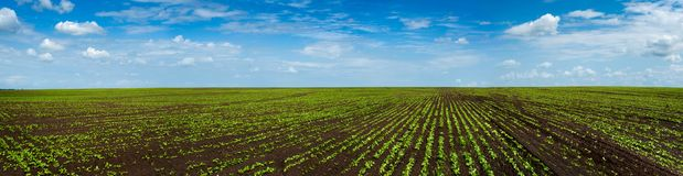 Sugar beet field crops lines , agricultural panorama. Sugar beet field crops lines , agricultural panoramic landscape Royalty Free Stock Photos