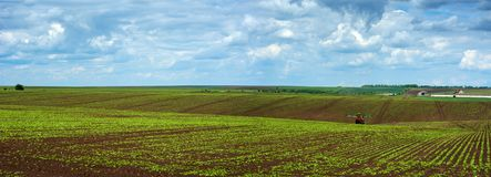 Sugar beet field crops lines , panorama. Sugar beet field crops lines , agricultural panorama Stock Images