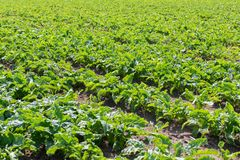 Sugar beet field. Green sugar beets in the ground. Agriculture Stock Image