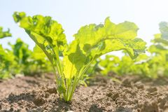 Sugar beet field. Green sugar beets in the ground. Agriculture Royalty Free Stock Photo