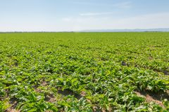 Sugar beet field. Green sugar beets in the ground. Agriculture Royalty Free Stock Photography
