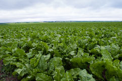 Sugar beet field. Sugar beet on an industrial scale. Plantation immature beets stock image