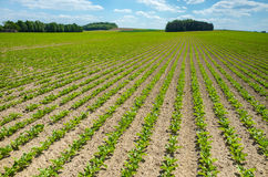 Sugar beet field. Large view on the green young sugar beet field Stock Photos