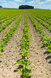 Sugar beet field. Large view on the green young sugar beet field Royalty Free Stock Photography