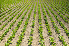 Sugar beet field. Large view on the green young sugar beet field Stock Photography