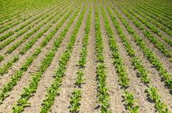 Sugar beet field Stock Photography