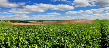 Sugar beet field panoramic view. Sugar beet bright green leaves in field Royalty Free Stock Images