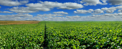 Sugar beet field panoramic view with cloudy blue sky. Sugar beet bright green leaves in field with cloudy blue sky Royalty Free Stock Photos