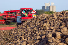 Sugar beet on field. Pile of harvested sugar beets and modern agricultural machinery for processing and loading Royalty Free Stock Photo