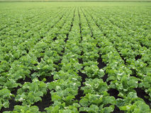 Sugar Beet Field Royalty Free Stock Photography