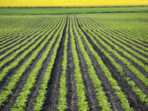 Sugar Beet Field. Sugar beet plant on the field in the spring time Royalty Free Stock Image