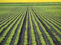 Sugar Beet Field Royalty Free Stock Image