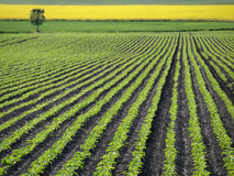 Sugar Beet Field. Sugar beet plant on the field in the spring time Royalty Free Stock Photo