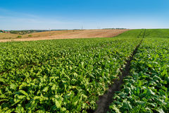 Sugar beet field rows. Sugar beet bright green leaves in field with cloudy blue sky Royalty Free Stock Photography