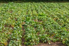 Sugar beet in a field. Rural scene. Crop and farming. Rows of sugar beet in field. Rural scene. Crop and farming Stock Photography
