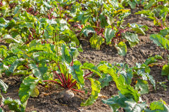 Sugar beet in a field. Rural scene. Crop and farming. Rows of sugar beet in field. Rural scene. Crop and farming Royalty Free Stock Images