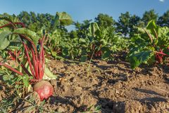 Sugar beet in a field. Rural scene. Crop and farming. Rows of sugar beet in field. Rural scene. Crop and farming Stock Photo