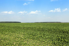 Sugar beet field. Sugar beet sprouts that wilted during the drought, problems with the harvest, close-up Royalty Free Stock Photo