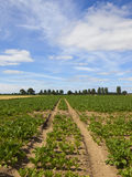 Sugar beet field with tyre tracks. A sugar beet field with tyre tracks on dry soil with trees and hedgerows under a blue summer sky in yorkshire Stock Image