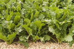 Sugar beet. Field of young green sugar beet Royalty Free Stock Image