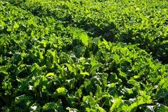 Sugar beet field rows. Sugar beet green fresh leaves field rows Stock Photos