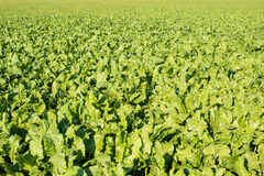 Sugar Beet Growing Stock Photography