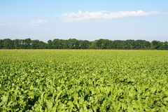 sugar beet growing Royalty Free Stock Photography