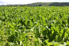 Sugar Beet Field. Sugar Beet growing in a Field in Herefordshire, England Stock Photo