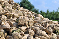 Sugar beet harvest Stock Photos