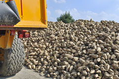 Sugar beet harvest Stock Photo