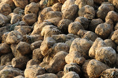 Sugar beet after harvest Royalty Free Stock Photos