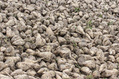 Sugar beet harvest Royalty Free Stock Photos