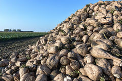 Sugar beet harvest. The pile of sugar beet. Stock Photography