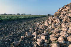 Sugar beet harvest. The pile of sugar beet. Royalty Free Stock Image